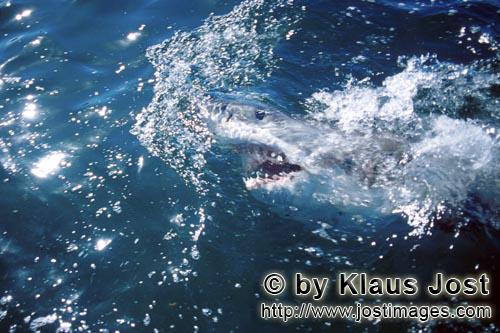 Weier Hai/Great White Shark/Carcharodon carchariasGreat White Shark explores the world over water Six sea (or nautical) miles from the coast of Gansbaai, quite close to Dyer Island and Geyser Rock, a great white shark breaks through the water surface. African penguins, cormorants (or sea ravens), many other sea birds and a large colony of South African fur seals (Arctocephalus pusillus) live here. The surface hunter often finds his prey on the water surface. The super-robber great white shark with its size and strength and fearsome jaws is a permanent danger to the South African fur seals around Dyer Island and Geyser Rock. The  great white shark belongs to the family of mako sharks and has very large gill slits and long pectoral fins. The largest great white shark ever caught had a length of 6.4 meters and an estimated weight of 1500 kg. In making a surprise attack from the depths they accelerate so fast that they sometimes shoot out of the water. The jaws of the great white shark with their sharp triangular teeth in the upper jaw and the pinpointed tusks in the lower jaw are notorious and dreaded. In order to be able to catch larger prey, the upper jaw is loose (or movable) and can be pushed forward. Lost or damaged teeth are replaced without any problem for a lifetime. The great white shark is the top robber of the food chain and fulfils an important task in conserving the ecological balance in the ocean. There is very little known about their behaviour and habitat. The great white shark exists almost unchanged for millions of years and has adjusted optimally to its environment. But now there is a danger that it will be exterminated by us humans.