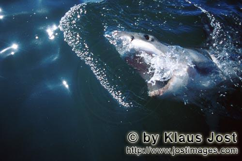 Weißer Hai/Great White Shark/Carcharodon carchariasGreat White Shark in expectation of the bait