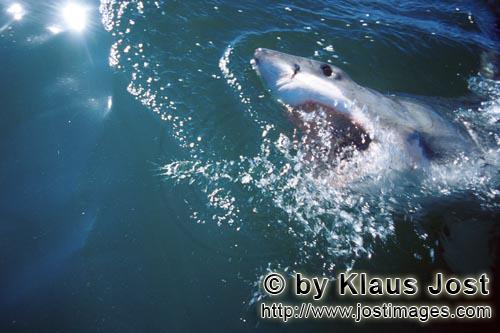 Great White Shark/Carcharodon carcharias        Great White Shark on its way through the ocean