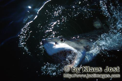 Great White Shark/Carcharodon carcharias        Great White Shark emerges from the dark water
