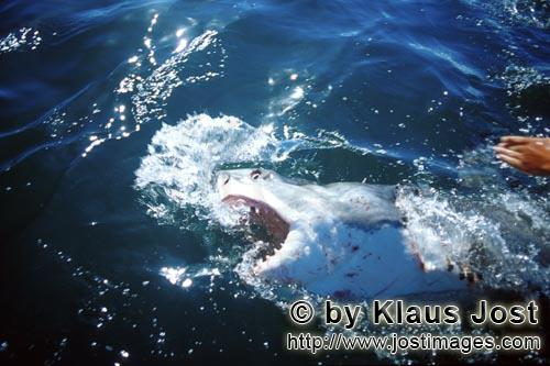 Weißer Hai/Great White Shark/Carcharodon carcharias        Great White Shark approaching our outboa