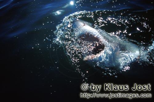 Weißer Hai/Great White Shark/Carcharodon carchariasGreat White Shark exploring the world above the water surface