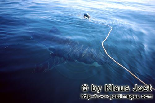 Weißer Hai/Great White shark/Carcharodon carchariasGreat White Shark circling the bait