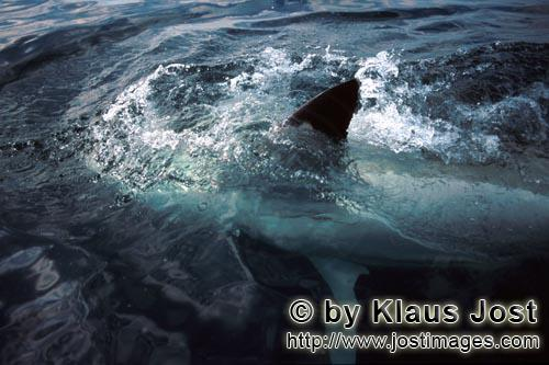Weißer Hai/Great White shark/Carcharodon carcharias        The Great White Shark shows its pectoral