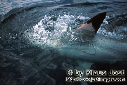 Weißer Hai/Great White shark/Carcharodon carcharias        The pectoral fin of the Greate White Sha