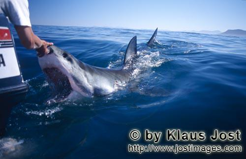 Weißer Hai/Great White shark/Carcharodon carcharias        Touching the nose of a Great White Shark