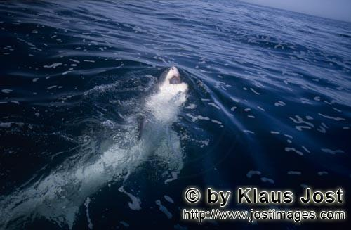 Great White shark/Carcharodon carcharias        Great White Shark has turned to the side, showing hi