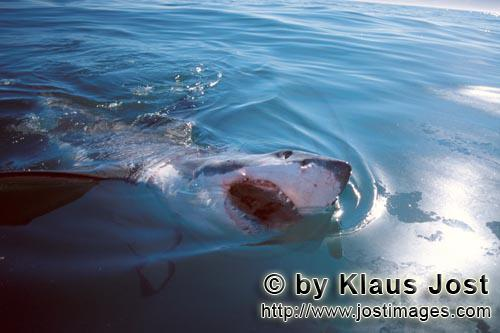 Great White shark/Carcharodon carcharias        Great White Shark breaks through the sea surface