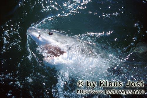 Weißer Hai/Great White shark/Carcharodon carcharias        In all the seas at home: The Great White