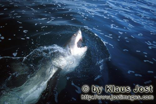 Weißer Hai/Great White shark/Carcharodon carchariasA white shark breaking through the water surface