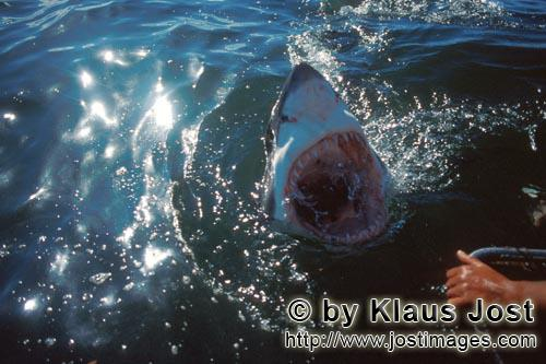 Weißer Hai/Great White shark/Carcharodon carcharias        Slashing jaws of the Great White Shark</