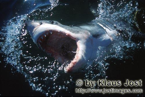 Weißer Hai/Great White shark/Carcharodon carcharias        Great White Shark breaks dynamically thr
