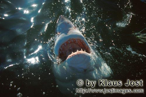 Weißer Hai/Great White shark/Carcharodon carchariasGreat White Shark explores the world above the water
