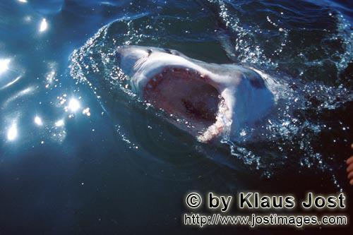 Weißer Hai/Great White shark/Carcharodon carchariasHorror films made the Great White Shark well-known and infamous everywhere Six sea (or nautical) miles from the coast of Gansbaai, quite close to Dyer Island and Geyser Rock, a great white shark breaks through the water surface. African penguins, cormorants (or sea ravens), many other sea birds and a large colony of South African fur seals (Arctocephalus pusillus) live here. The surface hunter often finds his prey on the water surface. The super-robber great white shark with its size and strength and fearsome jaws is a permanent danger to the South African fur seals around Dyer Island and Geyser Rock. The  great white shark belongs to the family of mako sharks and has very large gill slits and long pectoral fins. The largest great white shark ever caught had a length of 6.4 meters and an estimated weight of 1500 kg. In making a surprise attack from the depths they accelerate so fast that they sometimes shoot out of the water. The jaws of the great white shark with their sharp triangular teeth in the upper jaw and the pinpointed tusks in the lower jaw are notorious and dreaded. In order to be able to catch larger prey, the upper jaw is loose (or movable) and can be pushed forward. Lost or damaged teeth are replaced without any problem for a lifetime. The great white shark is the top robber of the food chain and fulfils an important task in conserving the ecological balance in the ocean. There is very little known about their behaviour and habitat. The great white shark exists almost unchanged for millions of years and has adjusted optimally to its environment. But now there is a danger that it will be exterminated by us humans.