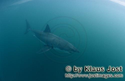 Weißer Hai/Great White shark/Carcharodon carcharias        Great White Shark in the green water bet