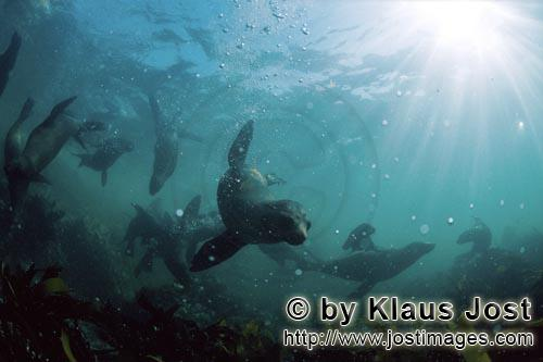Suedafrikanische Pelzrobbe/South African fur seal/Arctocephalus pusillus        Seals in the kelp</b