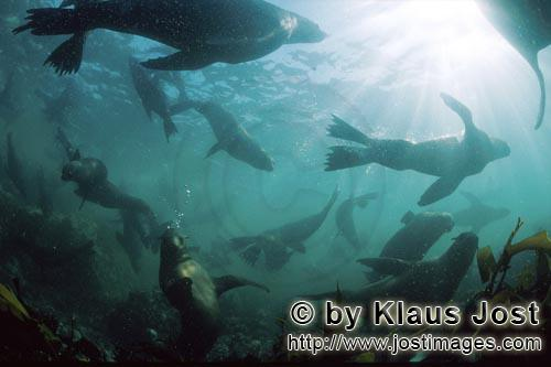 Suedafrikanische Pelzrobbe/South African fur seal/Arctocephalus pusillusSeals in the surf