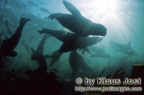 Suedafrikanische Pelzrobbe/South African fur seal/Arctocephalus pusillusSouth African Fur Seals in the underwater surf
