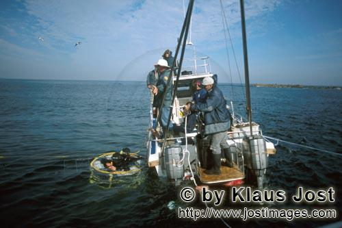 Dyer Island/Western Cape/South Africa        Shark cage with divers