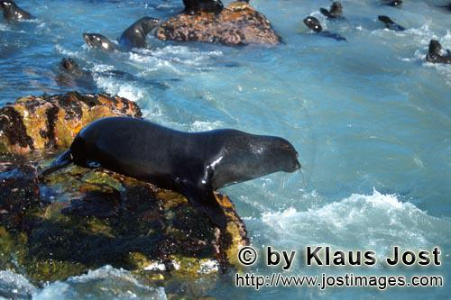 South African fur seal/Arctocephalus pusillus        Fur seal on the jump in the water         On th