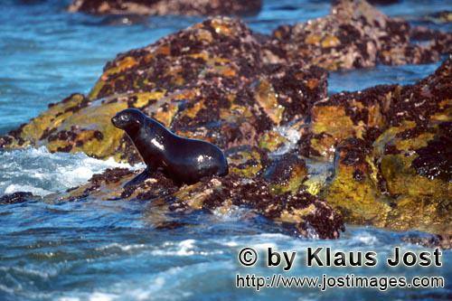 South African fur seal/Arctocephalus pusillus        Fur Seal on colorful overgrown rock        On t