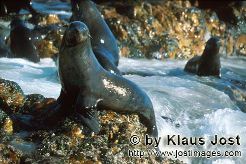 South African fur seal/Arctocephalus pusillus        Attentive fur seals        On the rocky island