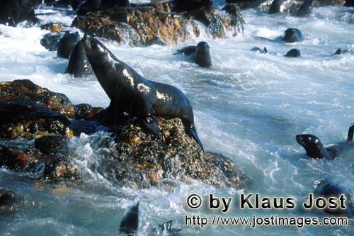 South African fur seal/Arctocephalus pusillus        Fur seals in heavy swell         On the rocky i