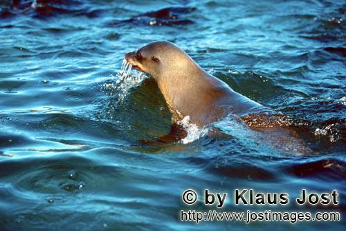 South African fur seal/Arctocephalus pusillus        Fur Seal is checking the situation         On t