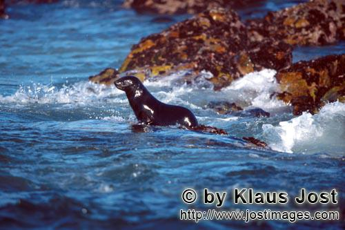 South African fur seal/Arctocephalus pusillus        Fur seal on the way into the sea         On the