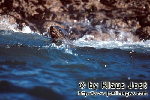 Suedafrikanische Pelzrobbe/South African fur seal/Arctocephalus pusillus        Fur Seal in the surf