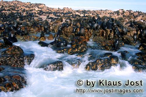 Suedafrikanische Pelzrobbe/South African fur seal/Arctocephalus pusillus        Fur Seals on Geyser Roc