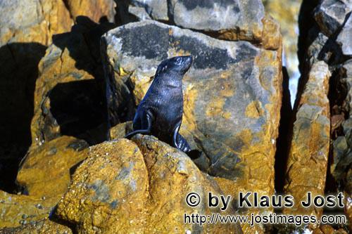 Suedafrikanische Pelzrobbe/South African fur seal/Arctocephalus pusillusFur Seal on Geyser Rock