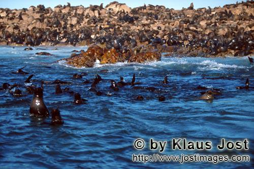 Suedafrikanische Pelzrobbe/South African fur seal/Arctocephalus pusillusFur Seals on Geyser Rock
