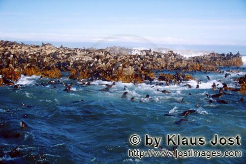 Suedafrikanische Pelzrobbe/South African fur seal/Arctocephalus pusillusFur Seals in the surf