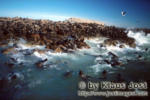 Suedafrikanische Pelzrobbe/South African fur seal/Arctocephalus pusillus        Fur Seals in the surf