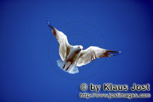 Hartlaub´s gull/Larus hartlaubii        Hartlaub´s gull in flight        This beautiful gull sp