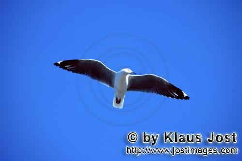 Hartlaub´s gull/Larus hartlaubii        Hartlaub´s gull gliding across the sea        This beautif