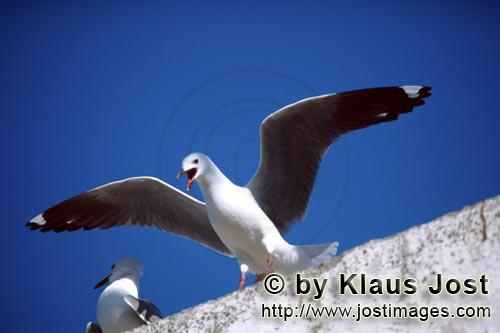 Hartlaub´s gull/Larus hartlaubii        Hartlaub´s gull has landed        This beautiful gull s