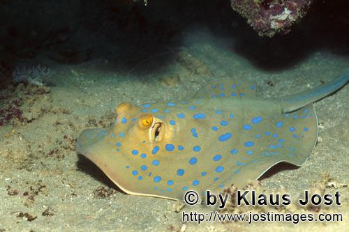 Bluespotted ribbontail stingray/Taeniura lymma        Bluespotted ribbontail stingray (Taeniura lymm
