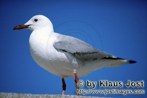 Hartlaub´s gull/Larus hartlaubii        Hartlaub´s gull        This beautiful gull species (Lar