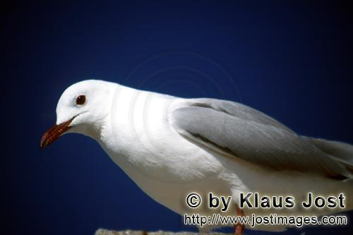 Hartlaub´s gull/Larus hartlaubii        Hartlaub´s gull portrait        This beautiful gull spe
