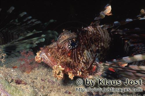 Indischer Rotfeuerfisch/Indian lionfish/Pterois miles        Indian lionfish