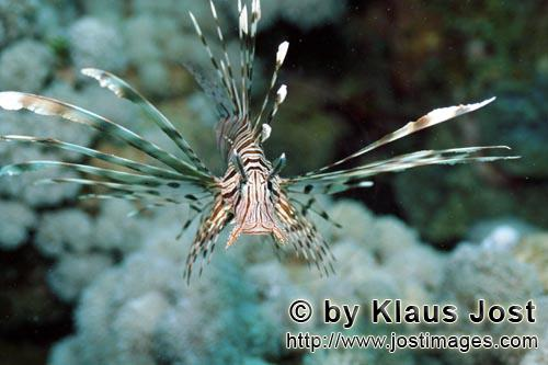 Indischer Rotfeuerfisch/Indian lionfish/Pterois miles        Frontal approaches an Indian Lionfish</
