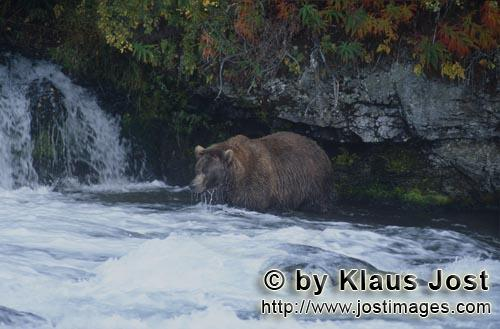 Brown Bear/Ursus arctos horribilis        Brown Bear looking for salmon        It's late fall and th