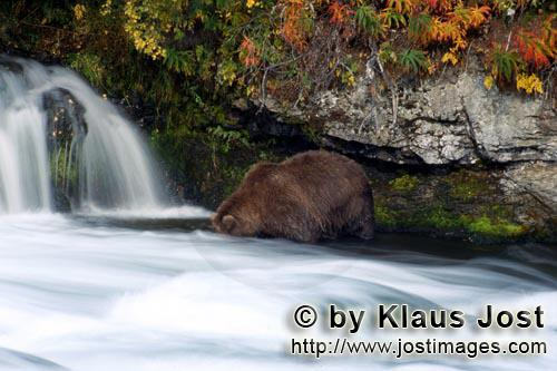 Brown Bear/Ursus arctos horribilis        Brown Bear in autumnal scenery         It's late fall and
