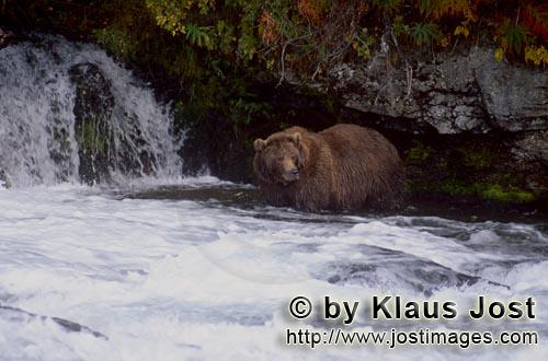 Brown Bear/Ursus arctos horribilis        Brown bear in the fall at the waterfall        It's late f