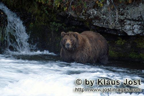 Brown Bear/Ursus arctos horribilis        Attentive brown bear at the waterfall        It's late fal