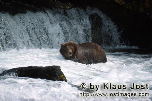 Brown Bear/Ursus arctos horribilis        Brown bear in strong current        It is autumn and the f
