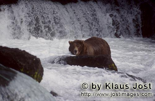 Brown Bear/Ursus arctos horribilis        Brown bear surrounded by water        It's late fall and t