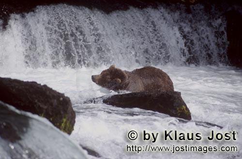 Brown Bear/Ursus arctos horribilis        Brown Bear shakes water off         It's late fall and the